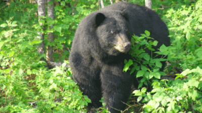 Vermont Bear Hunters Had a Record Season in 2020